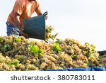 Man Collecting Grapes