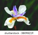 A Colorful Iris Wild Fairy Nic...