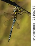 Small photo of Aeshna mixta dragonfly drying on a wash-line in the sunlight
