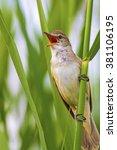 Small photo of singer bird Great Reed Warbler / Acrocephalus arundinaceus