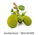 Young Jack Fruits On White...