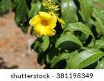 Small photo of Single Yellow Bell flower (Allamanda cathartica)