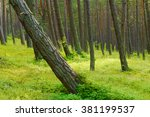 Scots Pine Pinus Sylvestris...
