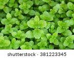 green peppermint leaves | Shutterstock . vector #381223345