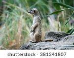 alert suricate or meerkat ... | Shutterstock . vector #381241807