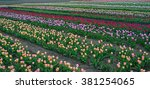 Pink  Red And Other Tulip Rows...