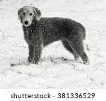 A Bedlington Terrier  Stands I...