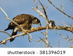 young bald eagle taking a bite... | Shutterstock . vector #381396019