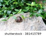 Small photo of Snail on a rock in the forest bushes, the exquisite delicacy and aphrodisiac viagra for men.