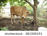 brown cow tied on a tree | Shutterstock . vector #381500191