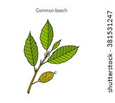 Beech Branch With Leaves And...