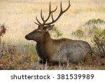 Resting Bull Elk   A Young...