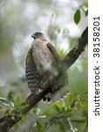 Small photo of coopers hawk, accipiter cooperii