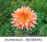 Beautiful Orange Dahlia Flower...