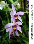 Small photo of Laelia anceps orchid flower