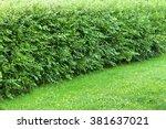Untrimmed Wonder Hedge Bushes...