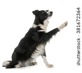 Stock photo black and white border collie in front of white background 381672364