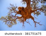 Giant Weaver Bird Nests In...