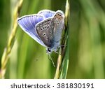 Male European Common Blue...