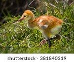 Sandhill crane few day old chick walks