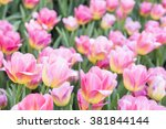 beautiful pink tulips  | Shutterstock . vector #381844144