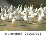 the goose in the yard | Shutterstock . vector #382067311