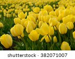 Field With Yellow Tulips