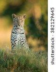 African Leopard Sitting Alert...