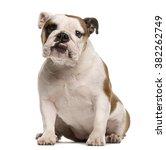 English Bulldog Sitting And...