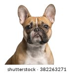 Close Up Of A French Bulldog...