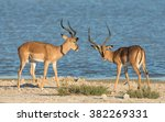 two male black faced impala at... | Shutterstock . vector #382269331