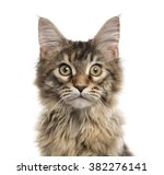 Close Up Of A Maine Coon Kitte...
