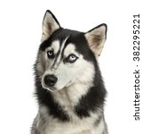 close up of a husky in front of ... | Shutterstock . vector #382295221