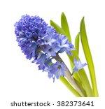single open blue hyacinth...   Shutterstock . vector #382373641