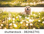 Stock photo golden retriever dog in enjoy sun 382462741