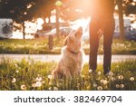 Stock photo girl playing with her golden retriever dog in summer park soft focus with sun flare effect 382469704