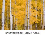 Colorful Aspen Trees During...