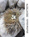 Great Cormorant Nest  Original...