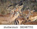 herd of female red lechwe ... | Shutterstock . vector #382487701