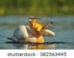 pelican  pelecanus onocrotalus    Shutterstock . vector #382563445
