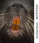 Small photo of Surprising meeting face to face with coypu with large teeth and long whiskers. Wildlife close-up photography.