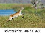 Female Red Lechwe Running In...
