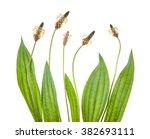 ribwort plantain isolated on... | Shutterstock . vector #382693111