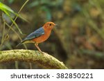 the orange headed thrush ... | Shutterstock . vector #382850221