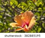 showy orange suffused with ... | Shutterstock . vector #382885195