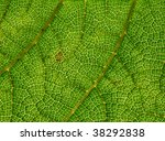 green leaf veins macro close up.   Shutterstock . vector #38292838