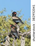 Small photo of Two Bateleur Eagles in tree in Khwai Reserve in Botswana