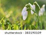 Snowdrops  Galanthus Nivalis ...