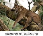 Lion Female Resting On The Tree