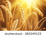 Wheat Field. Ears Of Golden...